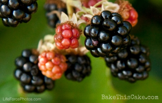 Wild Blackberries on the vine for the Bavarian Cream Mousse BakeThisCake