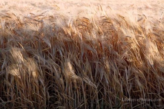 Wheat Field by LifeForcePhotoscom for BakeThisCake