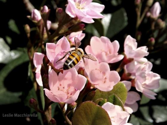 Bee on pink flowers Photo by Leslie Macchiarella