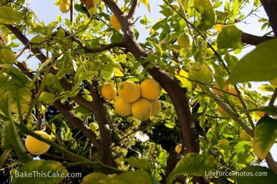 Lemon Tree med shot LifeForcePhotos for Bake This Cake