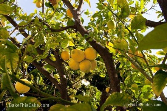 Lemon Tree med shot LifeForcePhotos for Bake This Cake