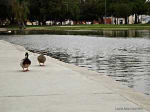 Ducks Strolling by the Lake photo by Leslie Macchiarella