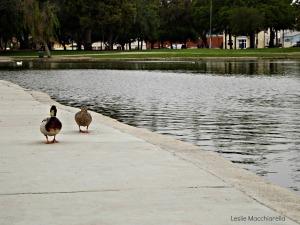 Ducks Strolling by the Lake photo by Leslie Macchiarella