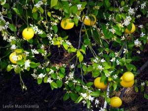 Grapefruit Blossoms photo by Leslie Macchiarella