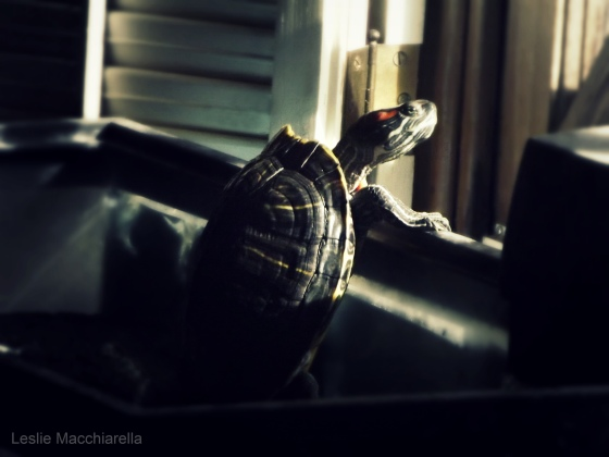 Turtle Gazing at the Garden photo by Leslie Macchiarella