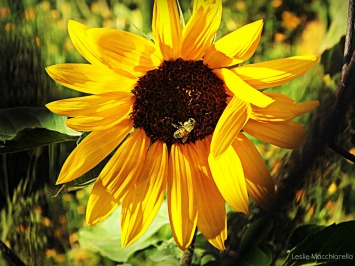 Sunflower and a Bee photo by Leslie Macchiarella