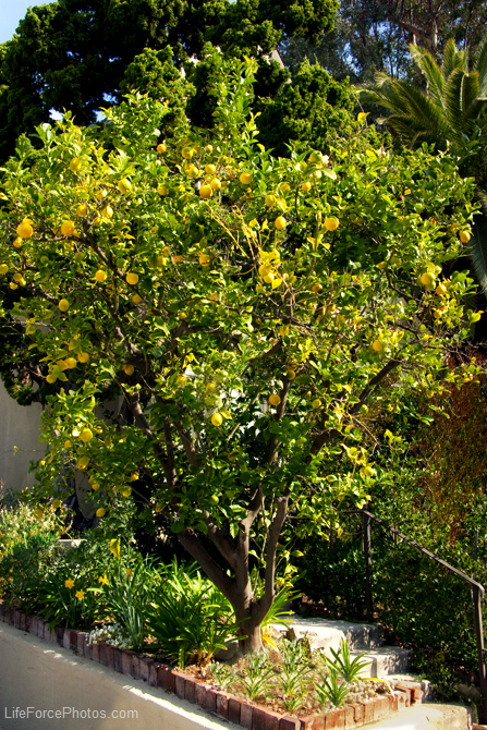 Granny Vi's Lemon Tree full view LifeForcePhotos for Bake This Cake