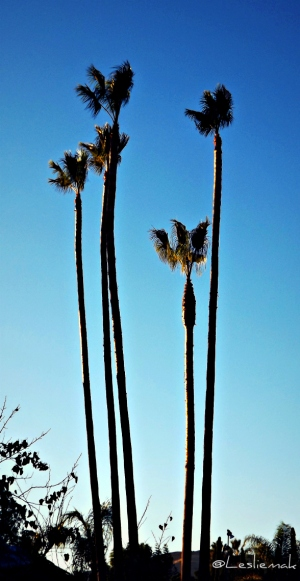 LA Palm Trees at Christmas photo by Leslie Macchiarella