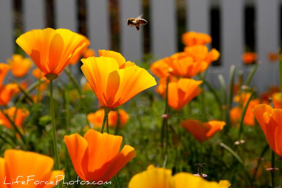 California Poppy Flower photo by LifeForcePhotos