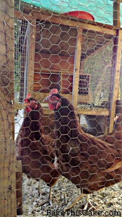 Rhode Island Reds for homegrown eggs bakethiscake