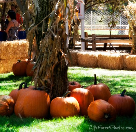 pumpkin-patch-photo-by-lifeforcephotos