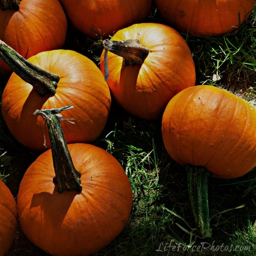 Pumpkin Patch Pumbpkins by LifeForcePhotos for bakethiscake