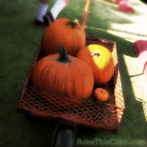wheelbaw hauling pumpkins at the pumpkin farm by bake this cake